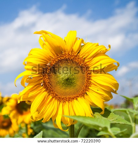 beautiful sunflower with green leaves,clear nature - stock photo