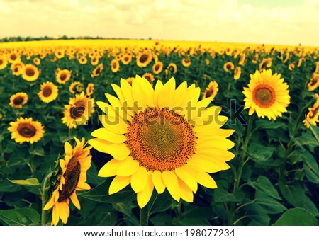 Beautiful sunflowers against a cloudy sky - stock photo
