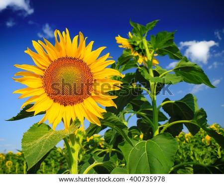 Beautiful sunflowers against blue sky - stock photo