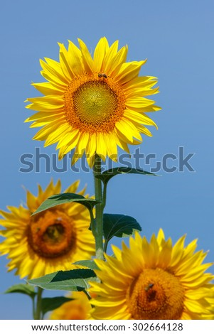 Beautiful sunflowers against blue sky and  bee gathering pollen from sunflower - stock photo