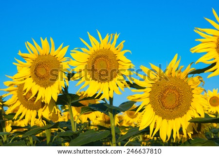 Beautiful Sunflowers and blue sky - stock photo
