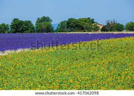 Beautiful sunflowers and lavender fields, Provence, France - stock photo