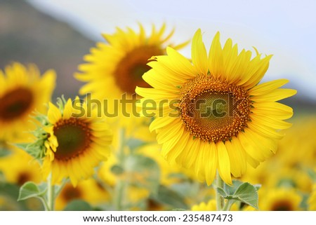 Beautiful Sunflowers blooming in the field