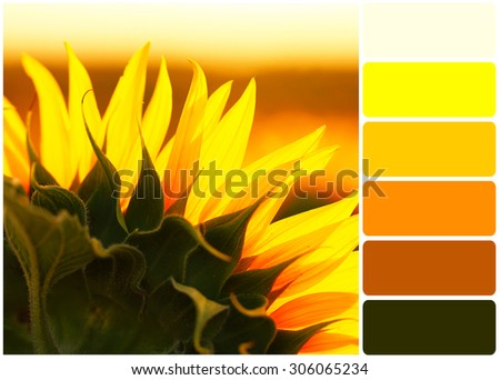 Beautiful sunflowers field and palette of colors - stock photo