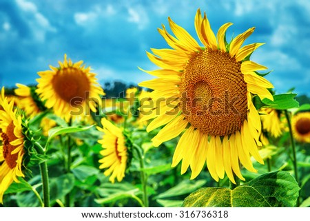 Beautiful sunflowers field, great yellow flowers over blue sky background, autumn harvest season, beauty of nature of Tuscany, Italy, Europe - stock photo