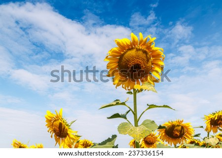 Beautiful Sunflowers fields with as background clouds sky