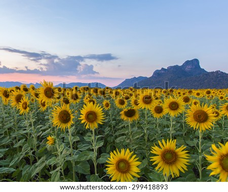beautiful sunflowers in spring field