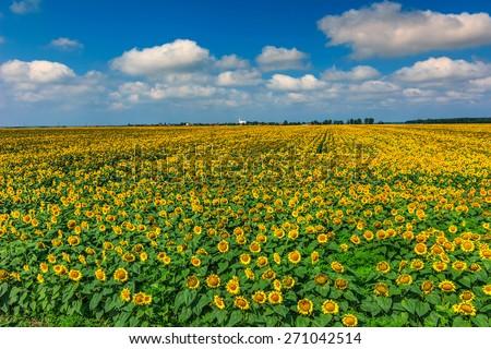 Beautiful sunflowers in the field and blue sky near Buzias,Transylvania,Romania,Europe - stock photo