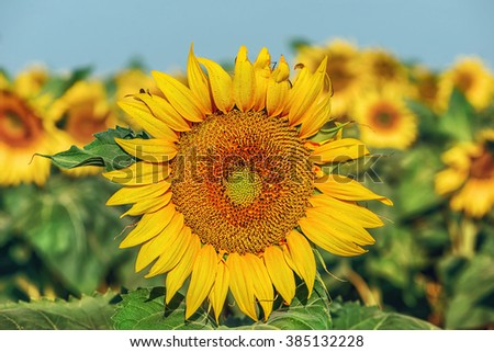 Beautiful sunflowers in the field with bright blue sky - stock photo