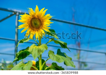 Beautiful sunflowers in the field with bright blue sky at Suan Phueng, Ratchaburi Province, Thailand. - stock photo