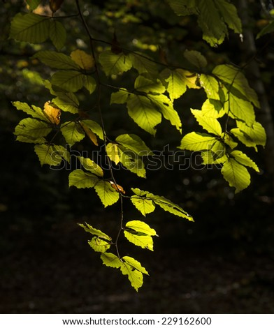 Beautiful sunlight dappled leaves in Autumn Fall forest landscape - stock photo