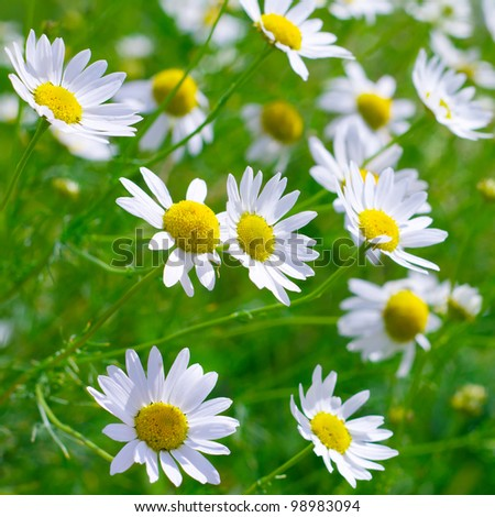 Beautiful sunny chamomile flowers close-up - stock photo