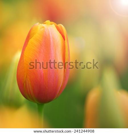 Beautiful sunny colorful tulip flower background. Selective focus used.