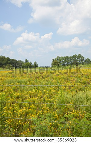 Beautiful sunny pasture with bitterweed flowers and blue skies with fluffy clouds.