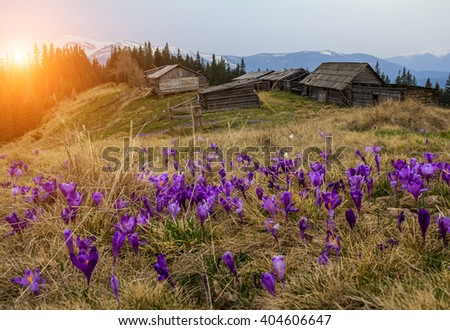beautiful sunny spring landscape with crocuses in the carpathian mountains and wooden huts