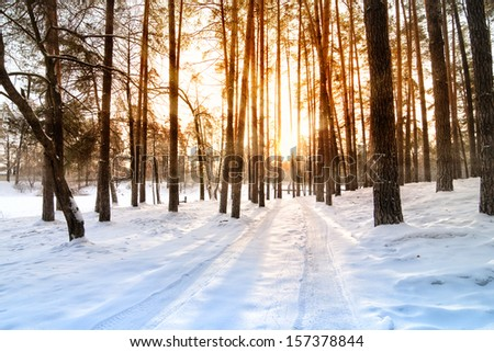 Beautiful sunrise in a winter pine forest  - stock photo