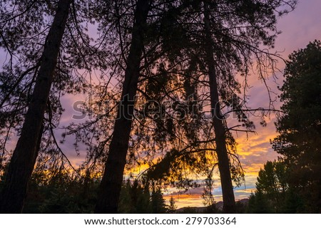 Beautiful sunrise in pine forest, New Zealand, South Island - stock photo