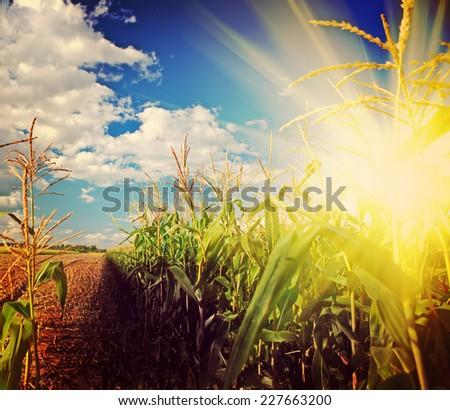 beautiful sunrise on corn field after harvest instagram stile - stock photo