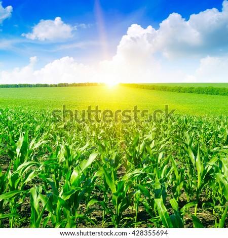 Beautiful sunrise on green cornfield - stock photo