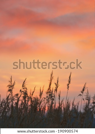 Beautiful sunrise sky with reed in the foreground. - stock photo
