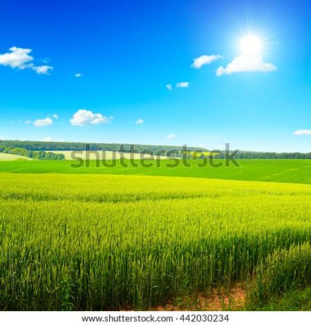 Beautiful sunset on wheat field and bright blue sky - stock photo