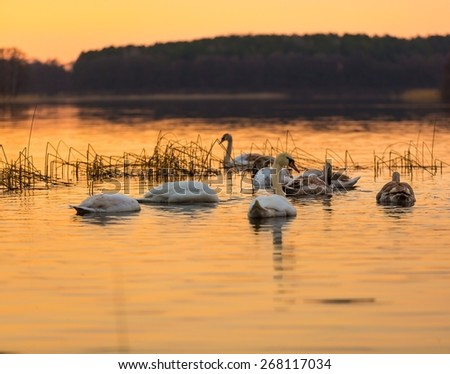 Beautiful sunset or sunrise lake with swan. Mazury lake district landscape with beautiful swan. Nature photography calm scene with golden light.  - stock photo