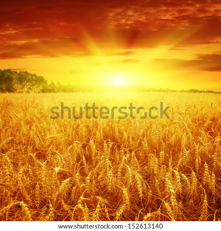 Beautiful sunset over wheat field.  - stock photo