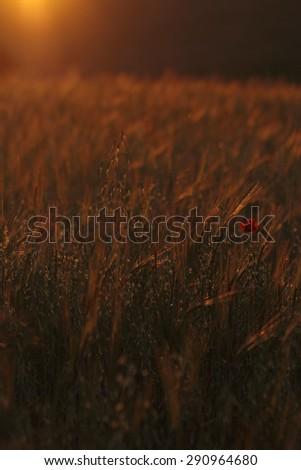 Beautiful sunset over wheat field  - stock photo