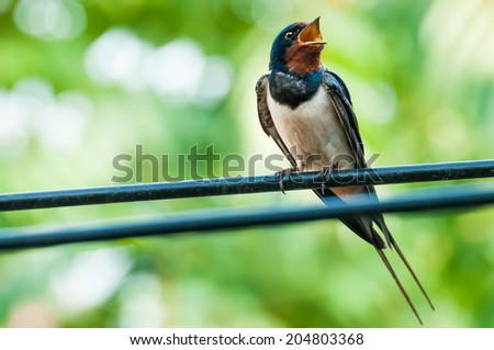 Beautiful swallow bird singing on wire against a green blurred background with space for adding text - stock photo