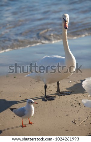 Beautiful swan close-up on the beach