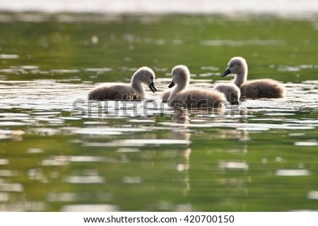 Beautiful swan cubs at the pond. Beautiful young wild swans on a pond. The beauty of nature. - stock photo