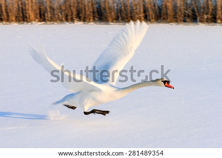 Beautiful swan (Cygnus olor) takes off from the snowy ice in winter in the Netherlands - stock photo