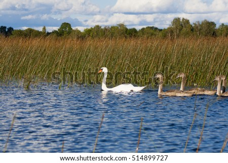 beautiful swans family swimming by the lake