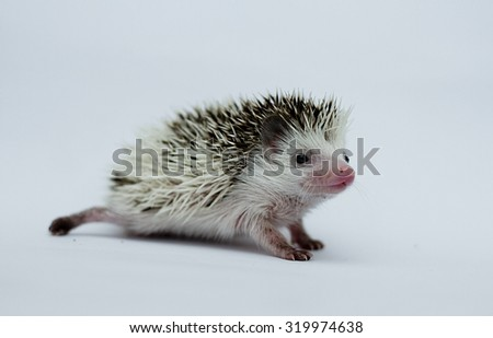 beautiful sweet african pygmy hedgehog baby in white background