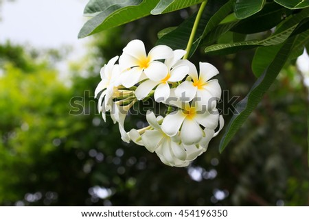 Beautiful sweet color, Plumeria flowers (frangipani flowers, Frangipani, Pagoda tree or Temple tree) blooming fresh and drop water abstract blur color.Abstract close up macro. - stock photo