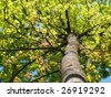 beautiful sweet-gum in spring - stock photo