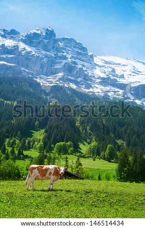 Beautiful Switzerland cow with snow cup mountain on background - stock photo