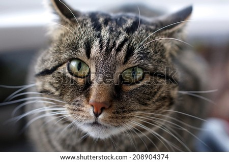 "Beautiful tabby cat is looking green eyes . Cat is called ""Darik"". He came to us from the street. He was a stray, non-domestic kitten. Since then, it took about 7 years. Kitten become a big cat.  - stock photo"