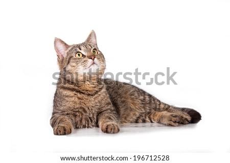 Beautiful tabby cat looking up isolated on white