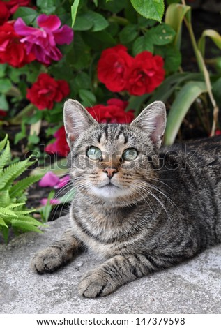 Beautiful tabby cat sitting in the garden on the porch near a flowering bush with red roses and enjoy.
