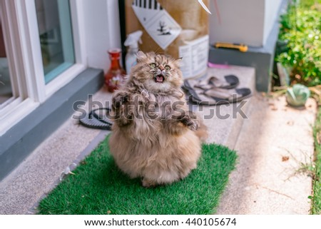 Beautiful Tabby Persian Cat with Yellow Eyes playing ribbon in the Green Grass in Summer season - stock photo
