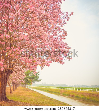 Beautiful Tabebuia rosea tree or pink poui, and rosy trumpet tree  pink flower blooming in garden add vintage color