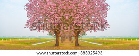 Beautiful Tabebuia rosea tree or pink poui, and rosy trumpet tree  pink flower blooming in garden
