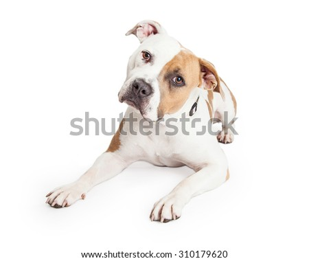 Beautiful tan and white color American Staffordshire Terrier Pit Bull dog laying down and tilting head while looking into the camera - stock photo