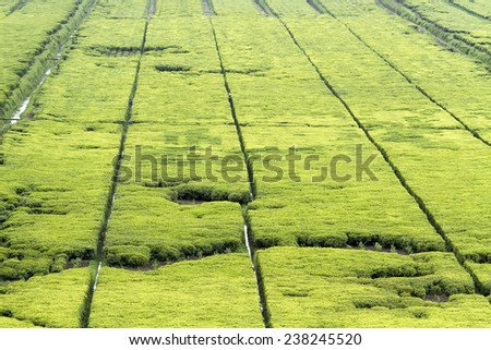Beautiful tea fields in Rwanda - stock photo