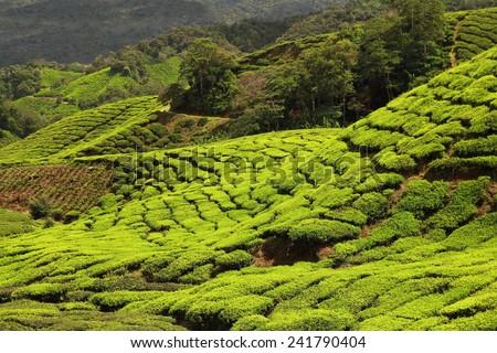 beautiful tea plantation - stock photo