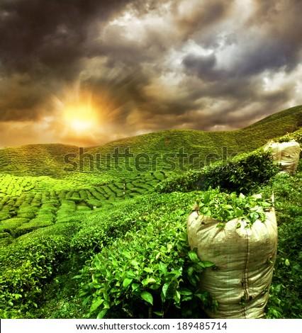 beautiful tea plantation sunset - stock photo
