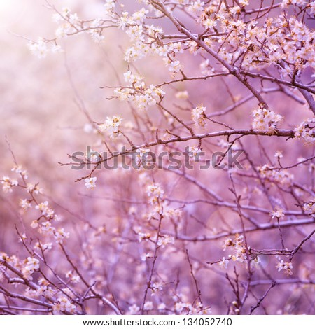 Beautiful tender cherry tree blossom in morning purple sun light, floral background, spring blooming flowers - stock photo