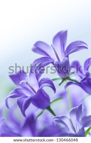 Beautiful tender harebell or campanula on a white background with shallow depth of field - stock photo