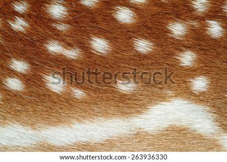 beautiful texture of fallow deer pelt ( Dama ) with lots of spots - stock photo